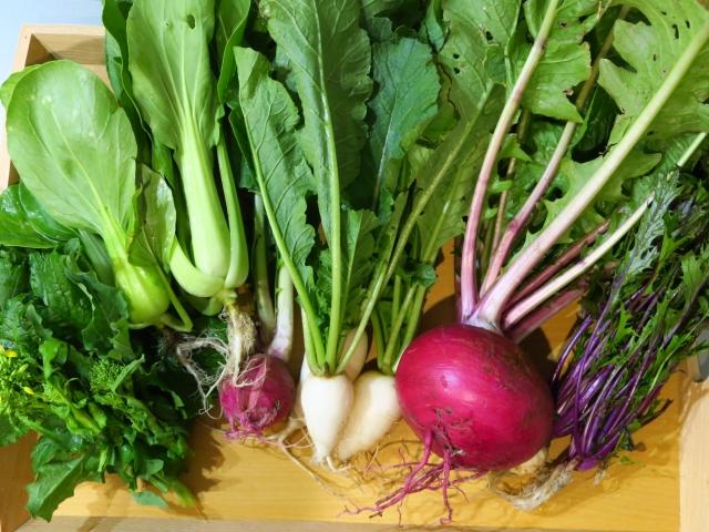カブ、チンゲン菜など秋に植えた野菜の収穫