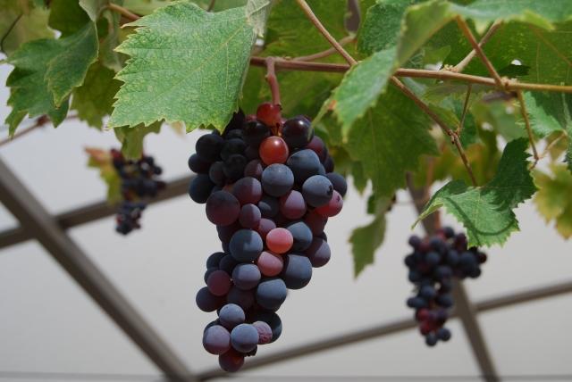 葡萄棚になった紫のぶどう