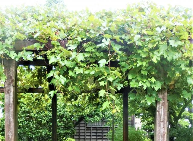 庭の葡萄棚でシャインマスカットが実る