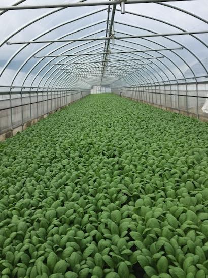 コマツナ 、ハウス栽培、収量