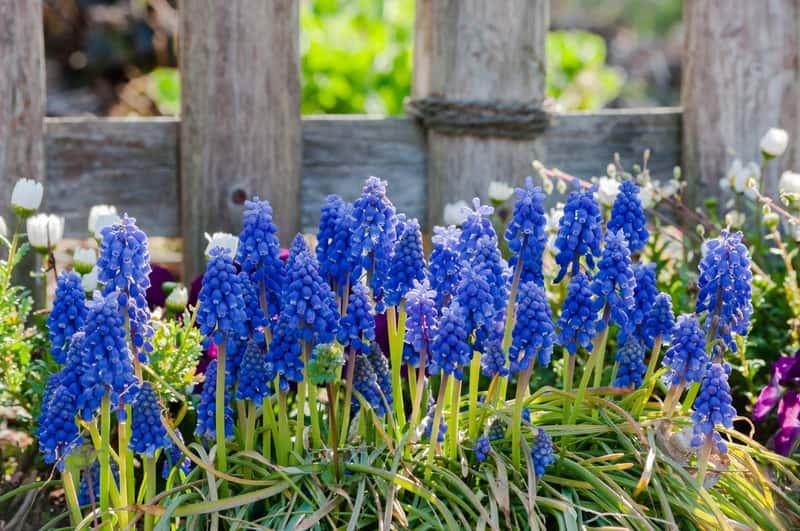 花壇に咲くムスカリ