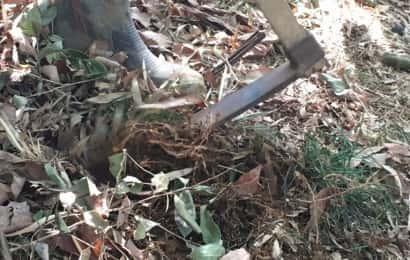 タケノコの周りの根を切る