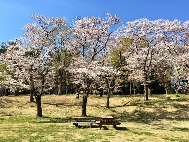 桜満開の森林公園