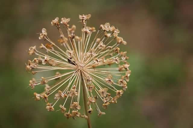 ニラの花が枯れる