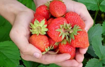 両手いっぱいのイチゴ