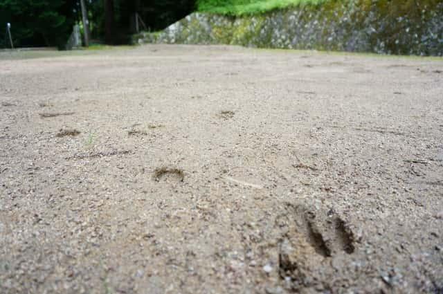 イノシシの足跡