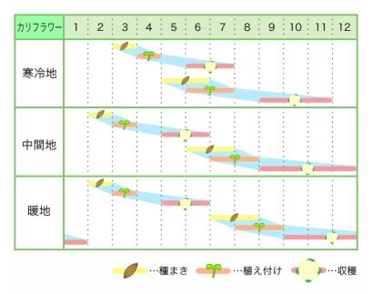 カリフラワー 新規就農レッスン 栽培カレンダー