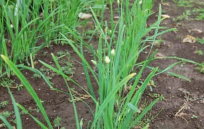 畑でニラを栽培する