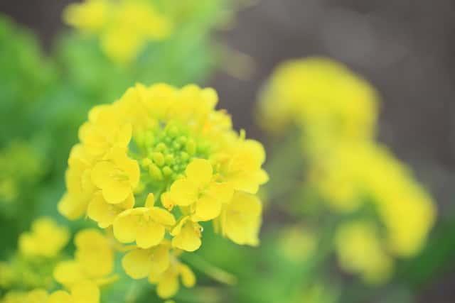 二十四節気、菜の花、春
