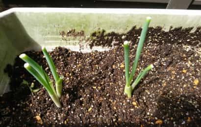 葉ネギは根元を少し残して収穫する