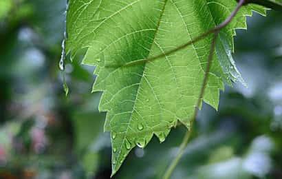 水に濡れたぶどうの葉とつる