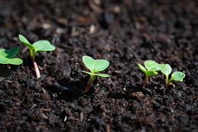 土から新芽が