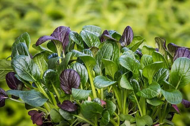 小松菜などの葉物が育っている