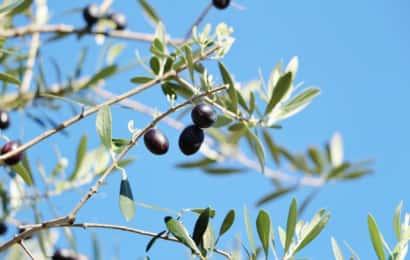 黒いオリーブの実と枝と青空