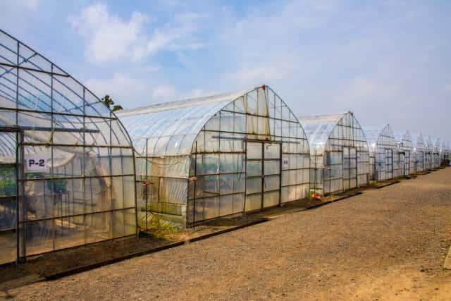 ハウス、栽培、蒸し込み