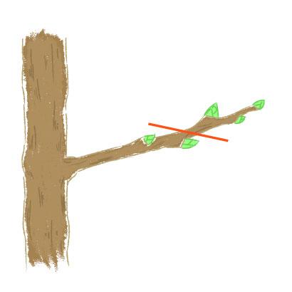 外芽を優先的に残すための剪定イラスト
