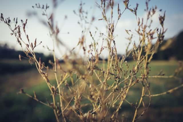 枯れた雑草