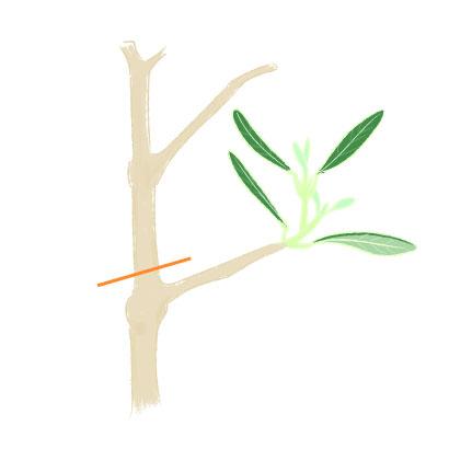 オリーブの新梢と剪定すべき箇所