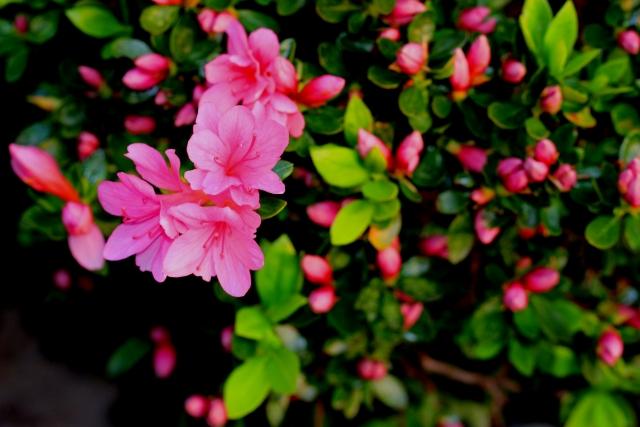花をたくさんつけたピンクの椿