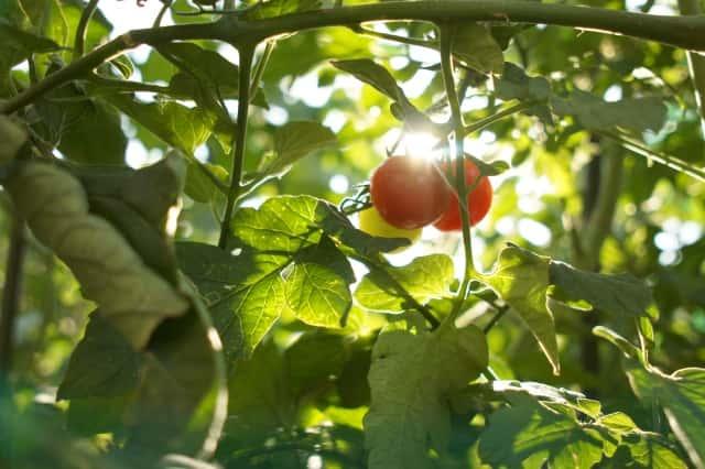 トマト 夏