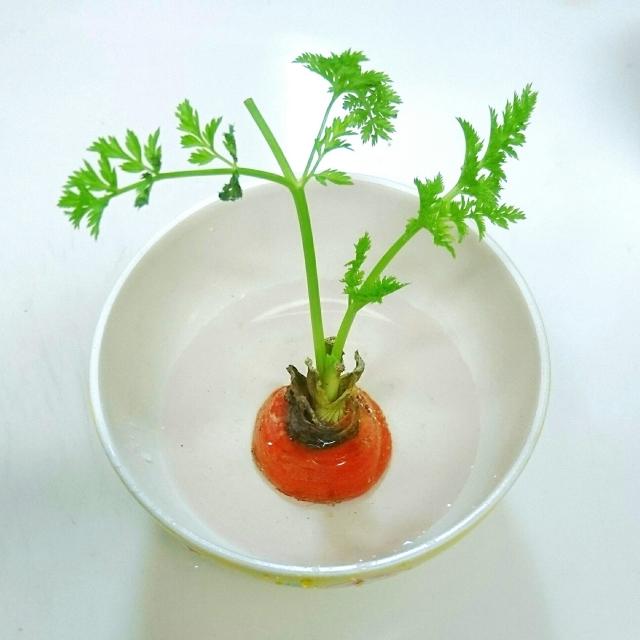 にんじんの芽を栽培している