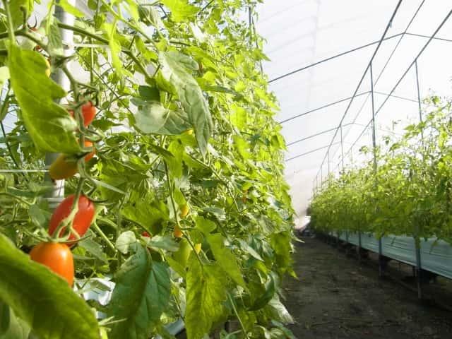 ハウス、栽培、トマト、蒸し込み