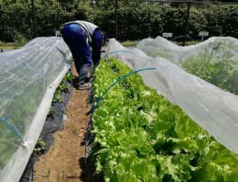 レタスを栽培する女性