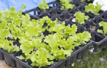 レタスの苗が大量にトレーに入っている。