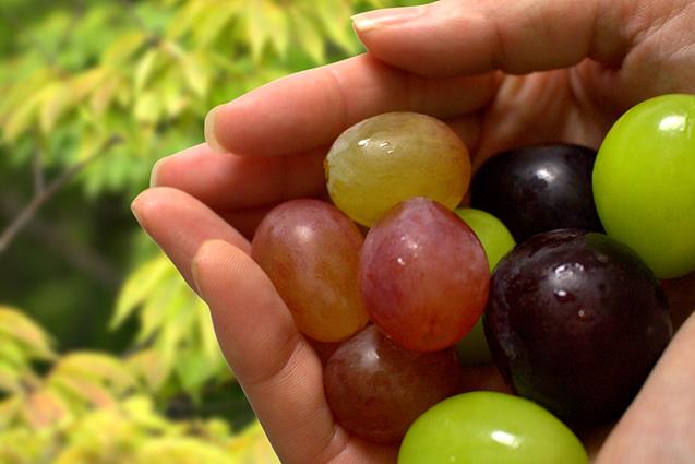 様々なぶどうの品種の実を手に取る