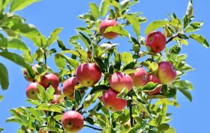 りんごの果樹