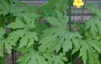 ゴーヤの葉と花とネット