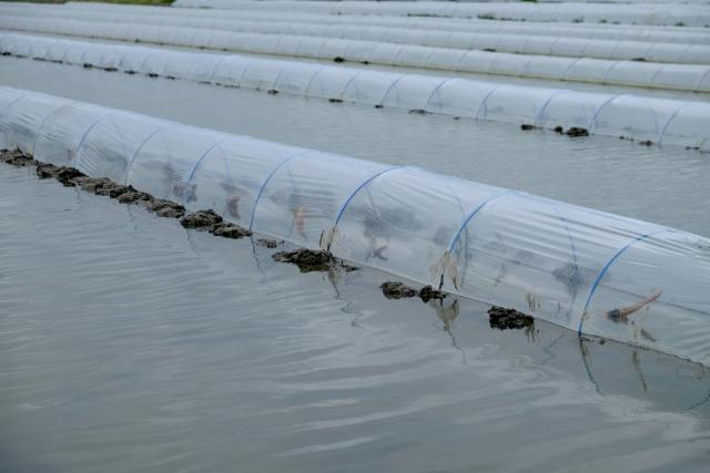 レンコンのトンネル栽培
