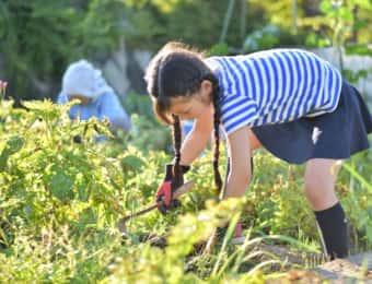ジャガイモの葉を鎌で刈る女の子
