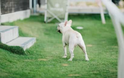 庭にいるフレンチブルドッグ