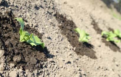 レタスの苗が3つ植えてある