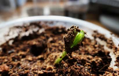 ゴーヤの芽がでる