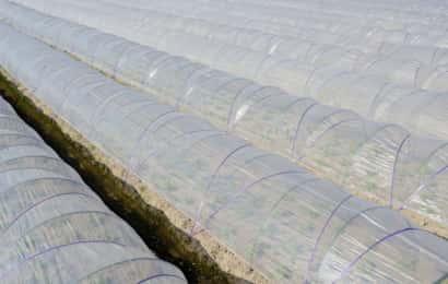 保温ビニールが被せてある畝が何列もある様子