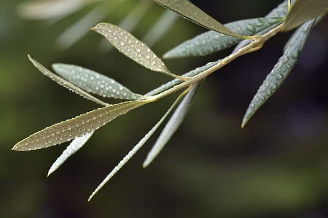 雨に濡れたオリーブの葉