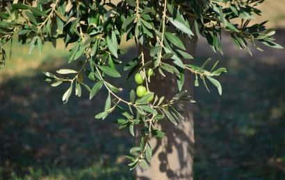 オリーブの木と実