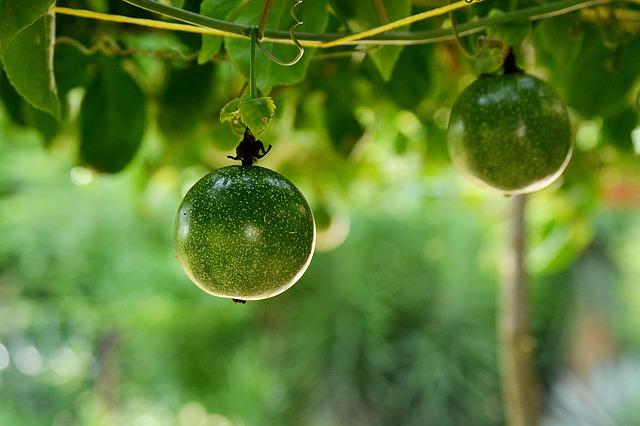 つるにぶら下がった緑のパッションフルーツ