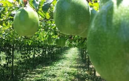 パッションフルーツ農園