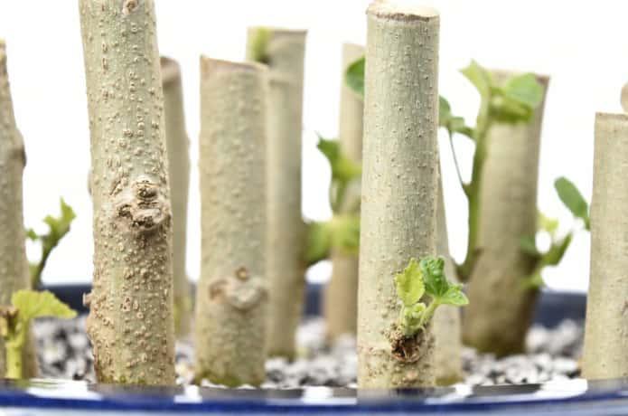挿し木の芽