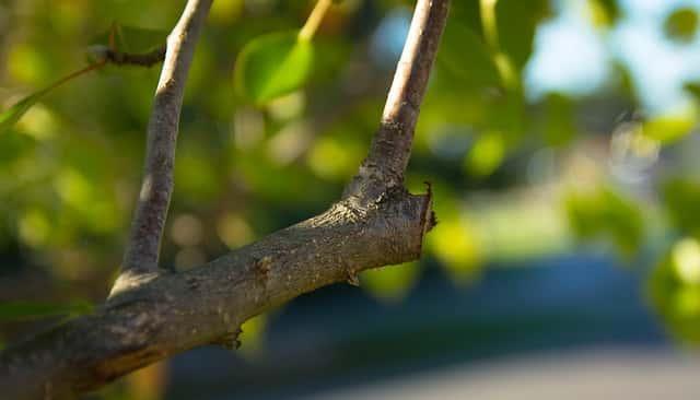 強剪定された枝