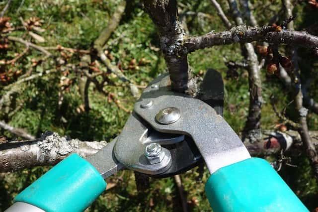 庭の木を剪定ばさみで剪定する