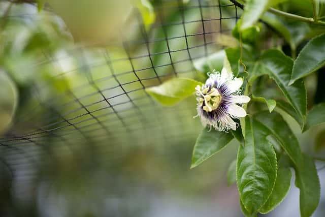 パッションフルーツの花とネット