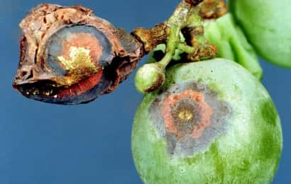 ブドウ 黒とう病