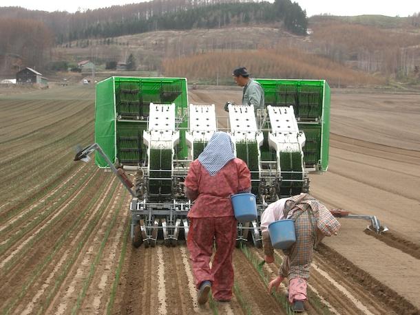 タマネギ、植え付け、栽培