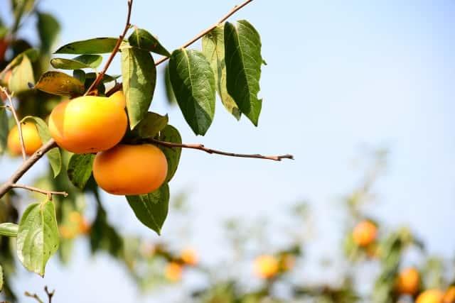 複数の柿の木にきれいなオレンジの柿が実っている
