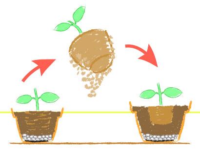 アジサイ、育て方、栽培