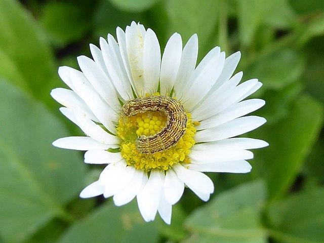 オオタバコガ  花